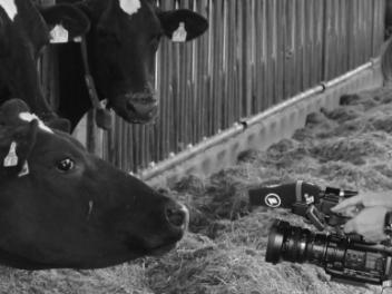Kuh blickt in Videokamera